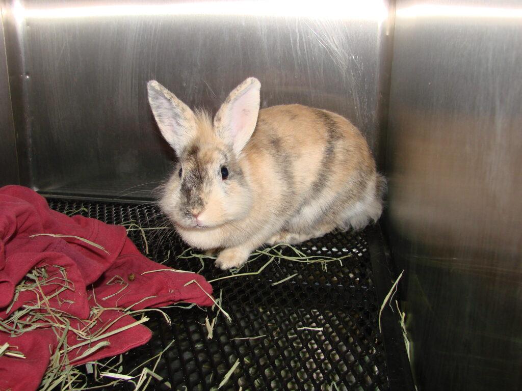 cannabidiol chez le lapin