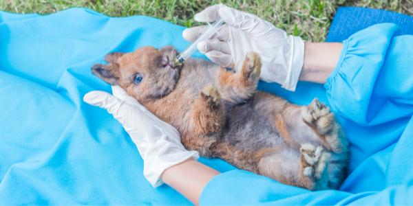gastrointestinaux physiologiques chez le lapin